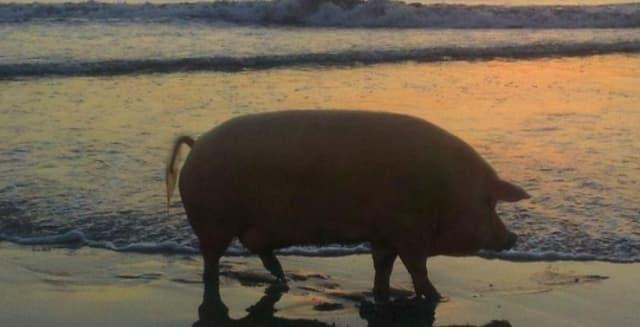 Not Peppa Pig